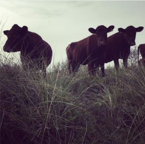 cows grazing in Ainsdale