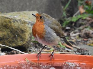 A garden Robin perched on a plant pot