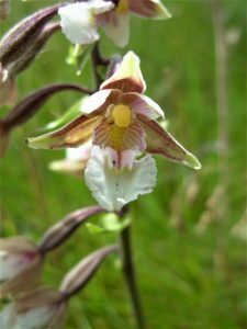 A Marsh Helleborine orchid. Picture by John Dempsey.