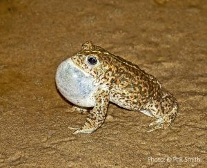 A Natterjack Toad. Picture by Phil Smith.